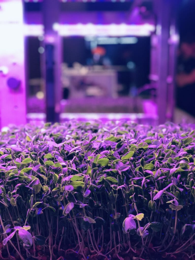 Growing plants hydroponically under glowing pink lights